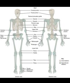 Human Skeleton FW