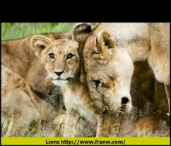 Lions FW