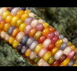 Corn FW