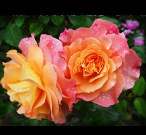 Rose FW